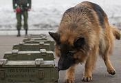 Немецкая овчарка во время тренировки по поиску взрывчатки