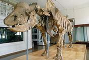 Cкелет древнего носорога – эласмотерия