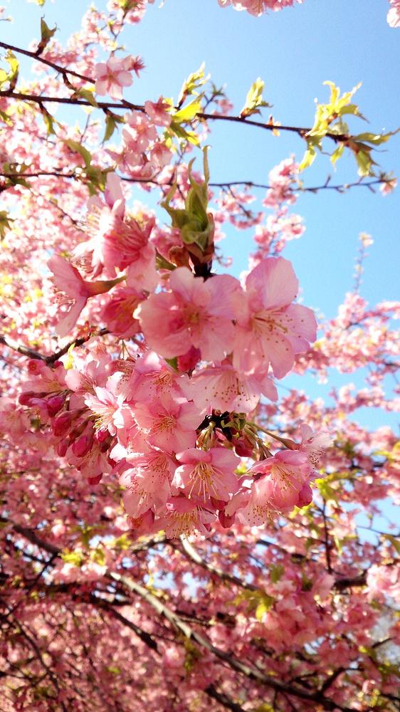 За появлением первых цветов следят инспекторы Метеорологического управления Японии