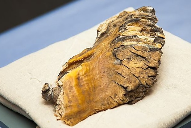 Зуб мамонта, изъятый таможенниками в Бурятии