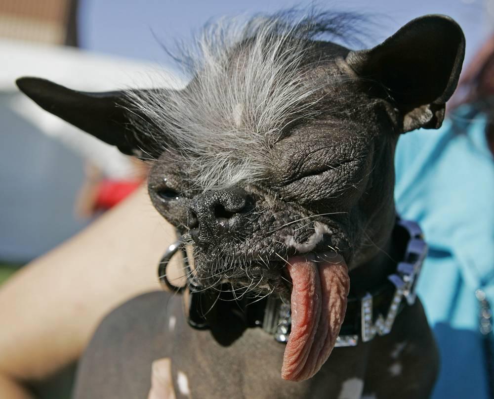 """Победитель 2007 - чихуахуа китайская хохлатая по кличке """"Элвуд"""" весит всего 2,7 кг и был спасен в результате полицейского расследования в Нью-Джерси"""
