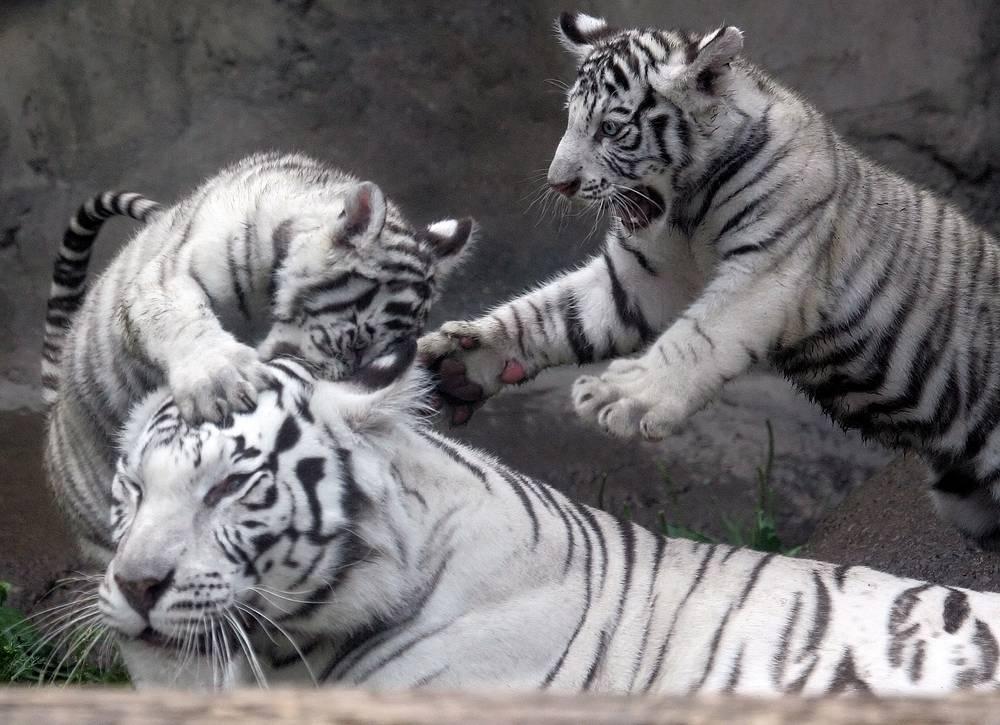 Бенгальский тигр обитает в Индии, Бангладеше, Бутане, Непале.