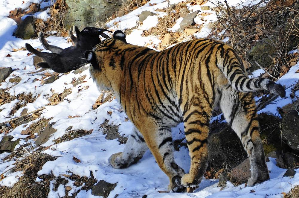 Для проведения переписи экологи планируют использовать фотоловушки, навигаторы и ДНК-анализ. На фото: тигр в сафари-парке в Шкотовском районе Приморья