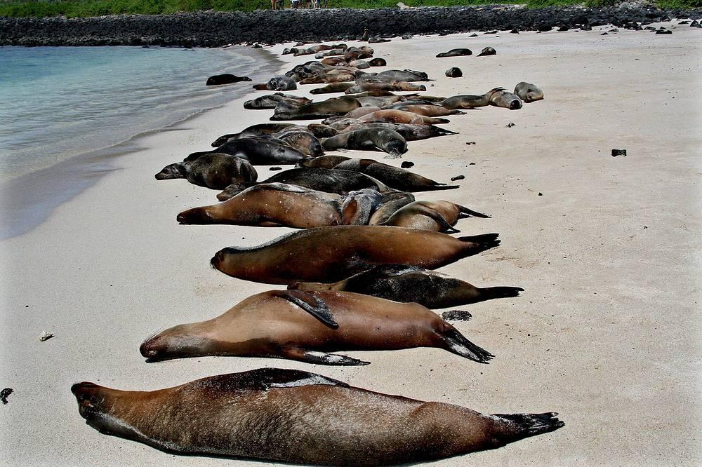 Морские львы на Галапагосских островах