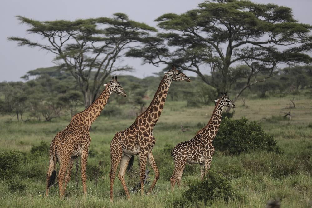 Экосистема региона Серенгети в Танзании - одна из старейших и наиболее сохранившихся на Земле. Более 80% Серенгети занимают охраняемые территории