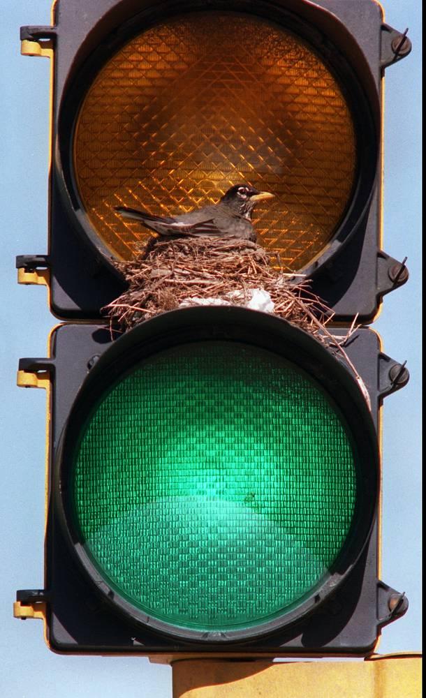 В России и во многих странах Европы мигающий зеленый сигнал означает предстоящее переключение к желтому. Мигающий желтый сигнал требует снизить скорость для проезда перекрестка или пешеходного перехода как нерегулируемого, в ночное время или в период низкого трафика. На фото: гнездо птицы на светофоре, Сент-Джозеф, штат Миссури, США