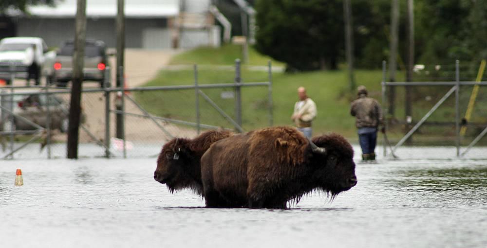 Американские бизоны вырвались из заповедника на улицы исторического центра Виндзора, штат Северная Каролина, США, 4 октября 2010 года