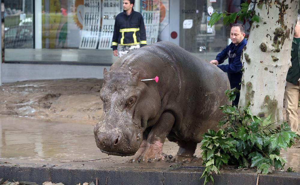 Спасатели ловят бегемота, сбежавшего из зоопарка Тбилиси. Грузия, 14 июня 2015 года