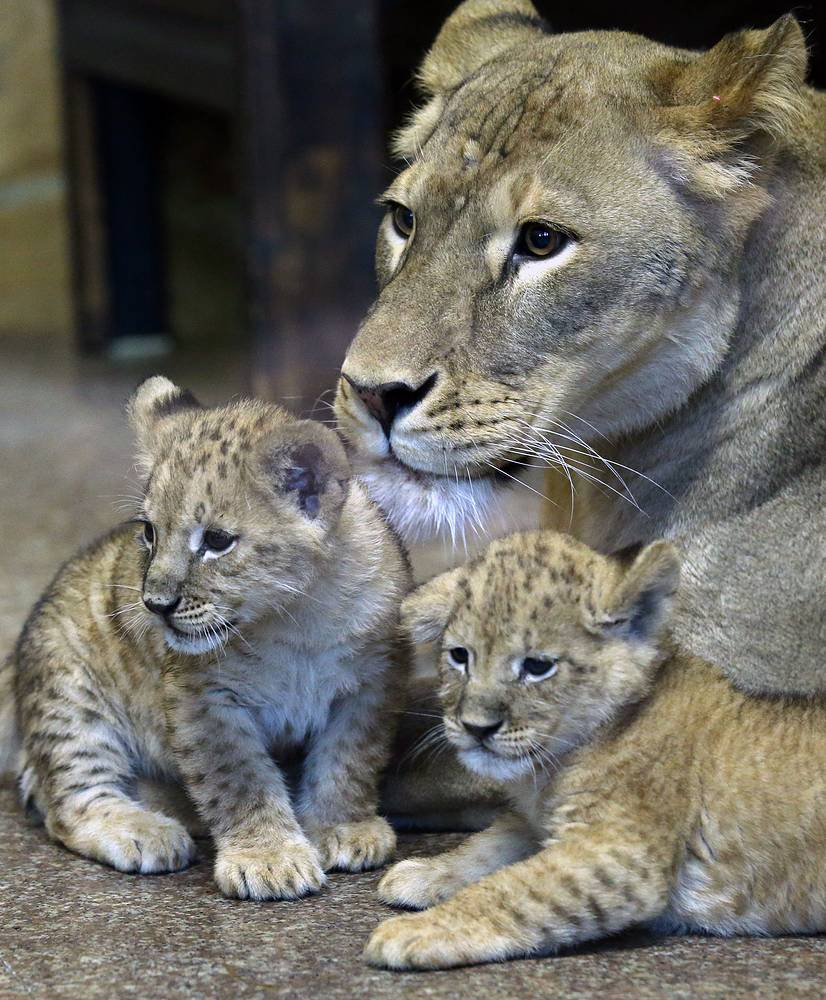 Львица Тася с новорожденными львятами
