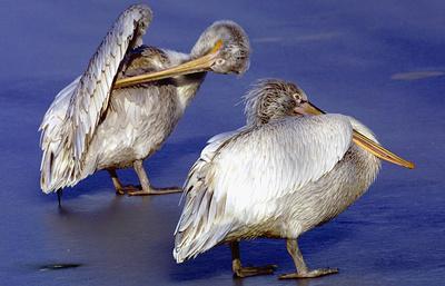 Пеликаны впервые за 30 лет остановились в Северной Осетии на время зимнего перелета