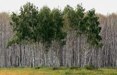 В Красноярском крае в 2018 г. обработают более 300 тыс. га тайги, пораженной шелкопрядом