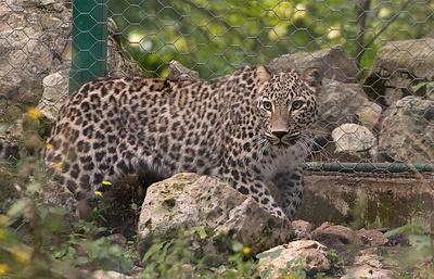 Минприроды: переднеазиатские леопарды из Швеции могут поселиться на Кавказе