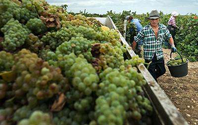 Аграрии Ставрополья начали уборку винограда