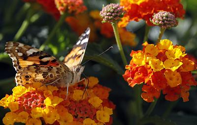 Десятки миллионов бабочек атаковали шведский остров Эланд