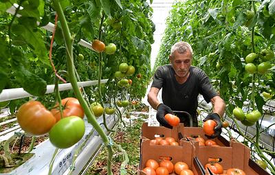 В Чечне открыли тепличный комплекс площадью 10 га для выращивания огурцов и томатов