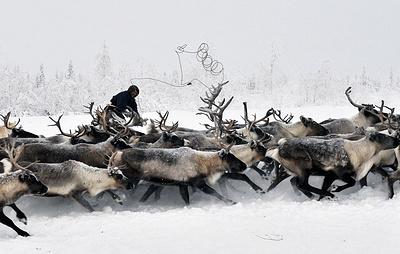 На Ямале завершили кампанию по вакцинации северных оленей против сибирской язвы