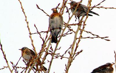 Эксперт: таежные птицы массово прилетели кормиться в Новосибирск после лесных пожаров