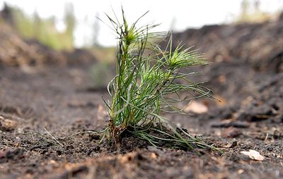 В Якутии впервые за 60 лет высадят леса