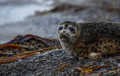 Ученые на Камчатке будут круглый год наблюдать за морскими бобрами и редкими тюленями