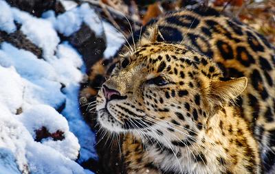 В Приморье ученые обнаружили старейшую самку дальневосточного леопарда