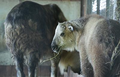 Детеныш редкого сычуаньского такина родился в Московском зоопарке