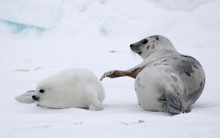 Тюлениха вынашивает детеныша одиннадцать месяцев