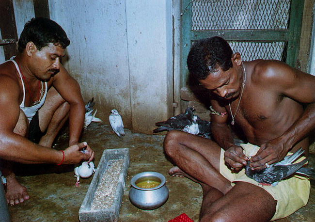В Индии в полицейском управлении Орисса до сих пор используются голуби для доставки почты в труднодоступные районы во время наводнений. На фото: голубиная почта при полицейском участке в Индии, организованная для экстренной связи во время наводнений, 2000 год