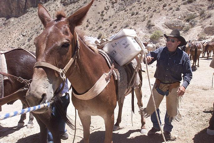 Во все времена в качестве доставки почты в труднодоступные места использовались животные. На фото: почтовый мул, США