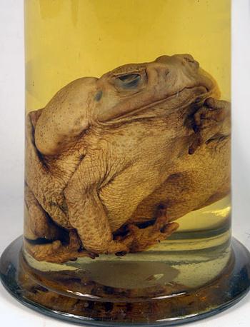 Препарат жаба-ага. Южная Америка