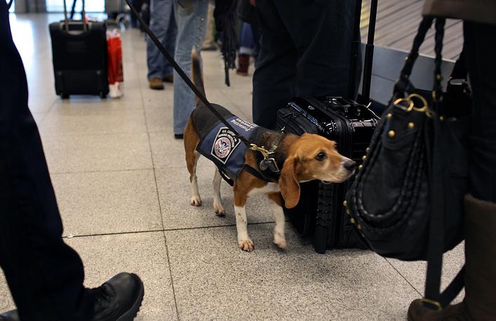 Сотрудники кинологической службы в международном аэропорту Джона Кеннеди. Собаки ищут не только наркотики, но и запрещенные к ввозу растения, личинки насекомых и продукты питания