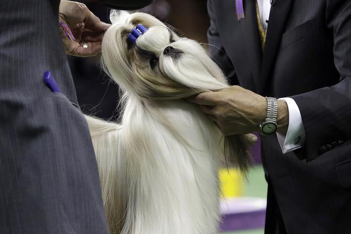 Собака породы ши-тцу, владелицей которой является Патти Херст - внучка Уильяма Рэндольфа Херста, американского миллиардера и газетного магната