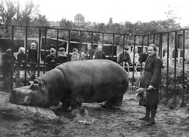 Во время блокады Ленинграда сотрудница зоопарка Евдокия Дашина спасла второго по величине в зоопарках мира бегемота. Двухтонная бегемотиха Красавица была привезена в Петербург в 1911 году. Фото 1943 года