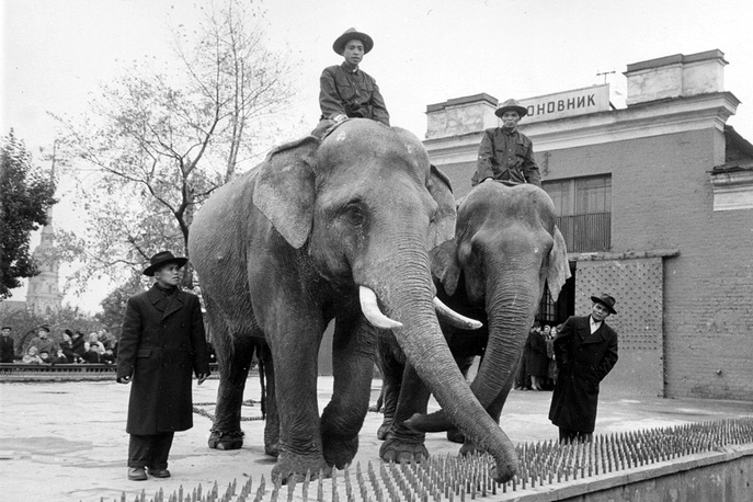 Слоны Сюну и Кунг, подаренные пионерам Ленинграда правительством Демократической Республики Вьетнам, 1945  год