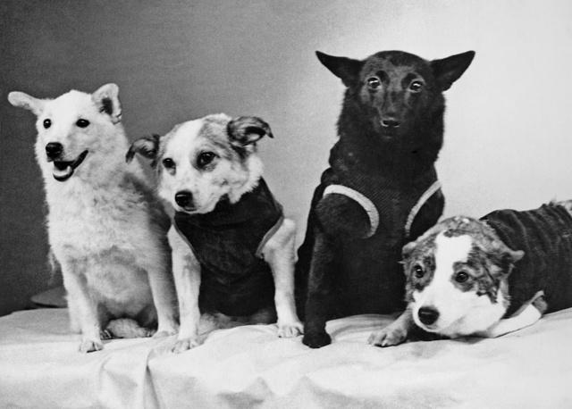 Собаки - космонавты: Белка, Звездочка, Чернушка и Стрелка, 1961 год