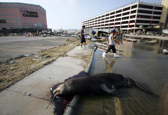 """Мертвый морской лев, погибший во время урагана """"Катрина"""", на улице города Галфпорт, штат Миссисипи, США. 31 августа 2005 года"""