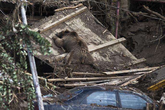 Во время наводнения в Тбилиси погиб медведь, сбежавший из зоопарка. Грузия, 14 июня 2015 года