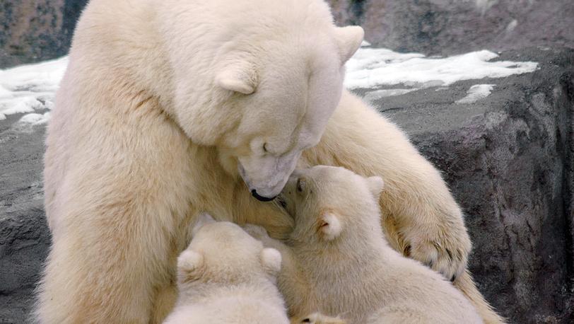 Новорожденные медвежата с медведицей