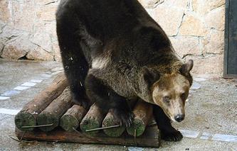 Медведица Бусинка из Челябинского зоопарка