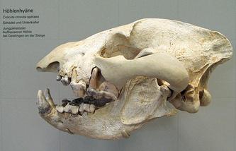 Череп пещерной гиены в Государственном музее естесствознания в Штутгарде