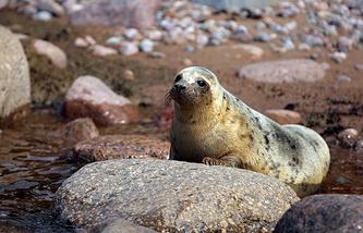 Тюлень, выпущенный на волю из Центра реабилитации ластоногих