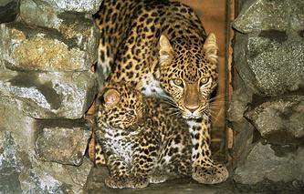 Самка дальневосточного леопарда с детенышем
