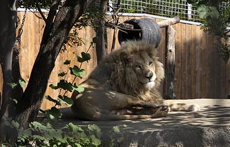 Лев в зоопарке в Тбилиси