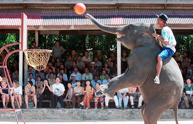 Слоновий баскетбол - аттракцион для туристов в Таиланде