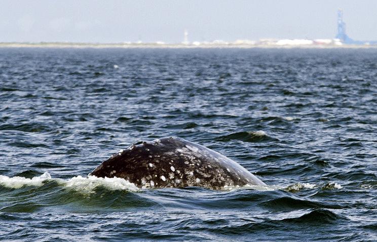 Серый кит в Охотском море