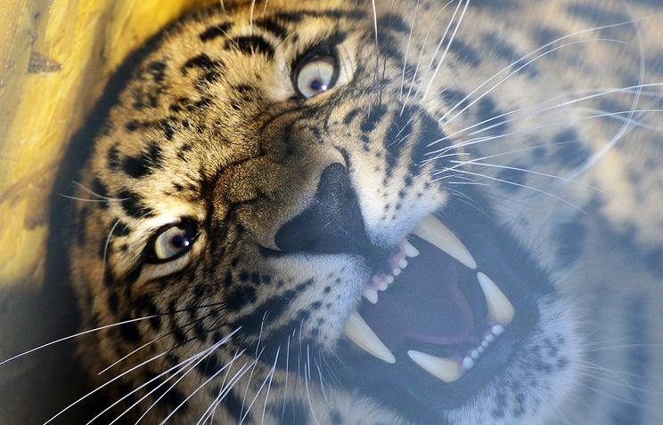 Леопард стал талисманом III зимних Всемирных военных игр вСочи